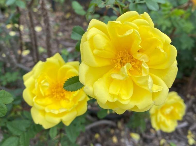 Harison's Yellow  Rose - Also known as the Oregon Trail Rose or the Yellow Rose of Texas.